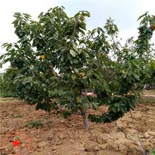 一年生樱桃苗、黑兰特樱桃苗产地报价图片