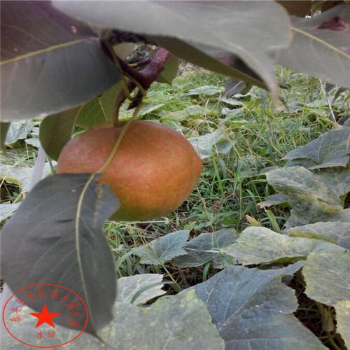 【八月红梨苗厂家、八月红梨树苗单价是多少】- 黄页88网