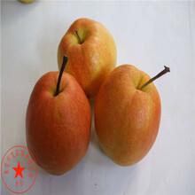 早翠梨梨苗价格是多少、早翠梨梨树苗图片图片
