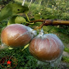 出售早红玉梨树苗批发价格、出售早红玉梨树苗几月份出售图片