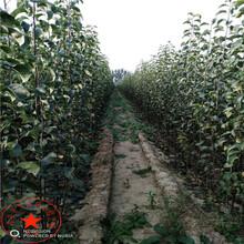 出售柱状梨树苗种植技术、出售柱状梨树苗出售图片