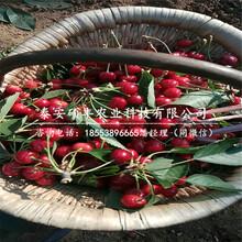 矮化一公分樱桃苗、矮化一公分樱桃苗价格图片
