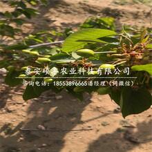 二公分乔化樱桃苗、二公分矮化樱桃苗图片图片