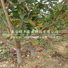 矮化3公分樱桃苗、矮化3公分樱桃苗几月份出售图片