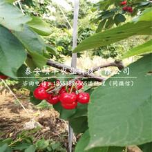 矮化2公分樱桃苗、矮化2公分樱桃苗介绍图片