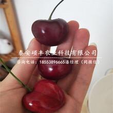 矮化2公分樱桃苗、矮化2公分樱桃苗保护地栽培技术图片