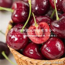 矮化2公分樱桃苗、矮化2公分樱桃苗销售图片