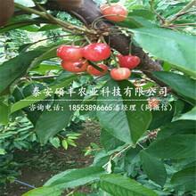 矮化哪里有樱桃苗、矮化哪里有樱桃苗品种特性图片