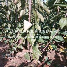 矮化三公分樱桃苗、矮化三公分樱桃苗适合湖北种植吗图片