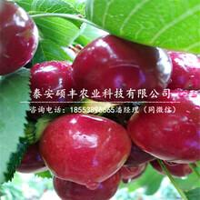 四公分矮化樱桃苗、四公分矮化樱桃苗多少钱一株图片