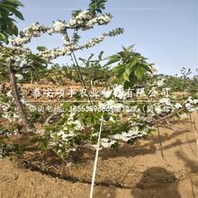 一公分乔化樱桃苗、一公分矮化樱桃苗咨询信息图片