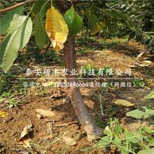 矮化2公分樱桃苗、矮化2公分樱桃苗适合山西种植吗图片