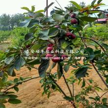 绿宝石梨树苗、梨苗哪里有图片