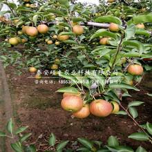 幸水梨苗原产地、出售幸水梨树苗图片