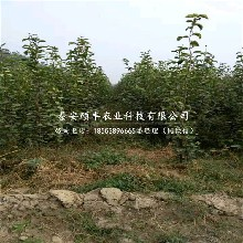中梨4号梨苗供应价格、大量批发中梨4号梨树苗图片