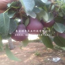 幸水梨树苗、梨苗价格多少钱图片