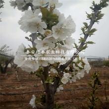 哪里出售早红玉梨树苗、早红玉梨树苗零售价格图片