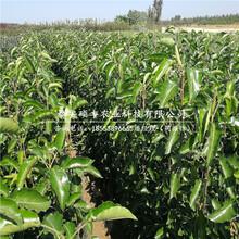 早红考密斯梨树苗、梨苗种植技术图片