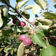 圆黄梨树苗市场、圆黄梨苗行情图片