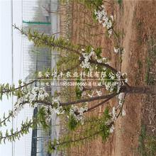 新高梨树苗种植技术、新高梨苗厂家供应图片