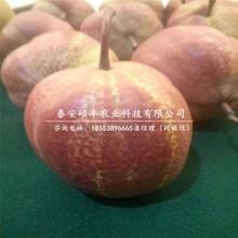 今年中梨4号梨树苗、中梨4号梨树苗种植技术图片