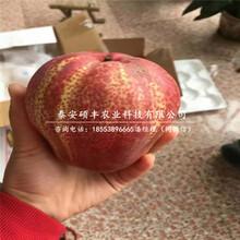 红太阳梨树苗产地报价、红太阳梨苗多少钱一颗图片