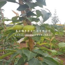 砀山酥梨树苗批发价格、砀山酥梨苗几月份出售图片