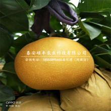 哪里出售晚秋黄梨树苗、晚秋黄梨树苗种植技术图片