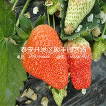 新品种白雪天使草莓苗、白雪天使草莓苗价格图片