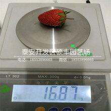 淡雪草莓苗、淡雪草莓苗多少钱一棵图片