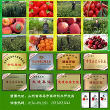 红肉苹果树苗、品种纯的红肉苹果树苗低价出售图片