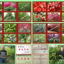 许昌市红肉苹果树苗批发零售图片