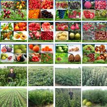 红肉苹果树苗一至三年苗价格、红肉苹果树苗供应图片