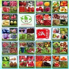 优质桃树原生苗育苗基地、桃树原生苗批发价格图片