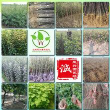 山东法兰地草莓、梨树苗价格