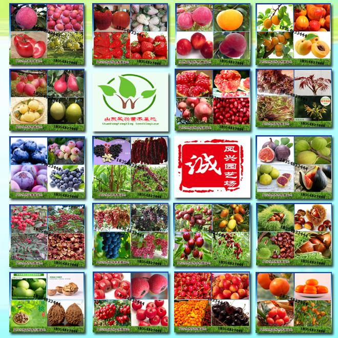 哪里大量供应红肉苹果树苗