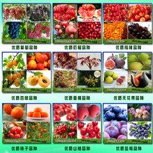 哪里的锦绣黄桃树苗品种纯、锦绣黄桃树苗批发图片