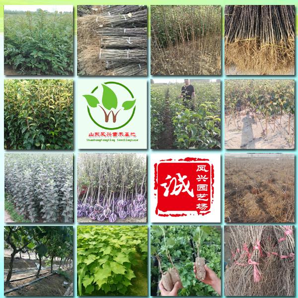 批發萊克西藍莓苗、山東萊克西藍莓苗種植基地