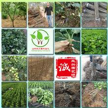 早酥红梨苗品种咨询、早酥红梨苗价格分析图片