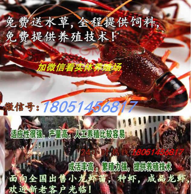 神池县龙虾苗价格