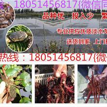 鸡泽县龙虾苗价格图片