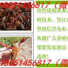龙虾种苗哪里有卖-大型龙虾苗育苗基地济宁%新闻图片