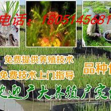 平塘县龙虾苗价格图片