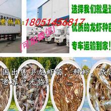 罗甸县龙虾苗价格图片