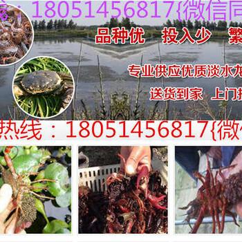 江苏淮安市可以买到小龙虾苗和龙虾种苗吗