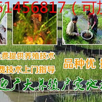 鄱阳县淡水龙虾种苗价格