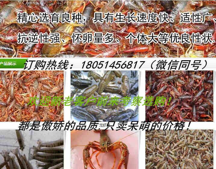 新闻:清远市小龙虾种苗厂家地址√欢迎您
