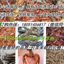 平阳县小龙虾苗供货地址图片