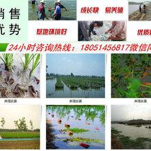 青阳县小龙虾苗多少钱一斤现在能买到吗图片
