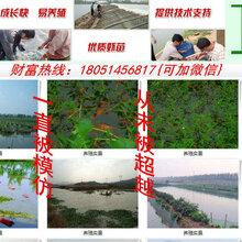 黑山县小龙虾种苗水产品出售图片